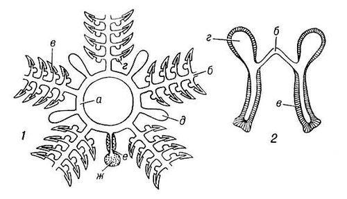 Схема амбулакральной системы иглокожих (1) и схематический разрез амбулакральных ножек, радиального канала и ампул (2). Амбулакральная система.