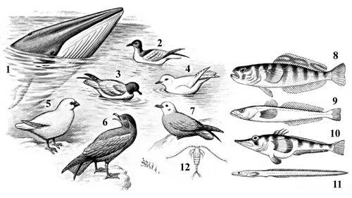 Характерные животные Антарктической области:1 — малый полосатик; 2 — капский голубок; 3 — антарктический буревестник; 4 — снежный буревестник; 5 — белая ржанка; 6 — большой поморник; 7 — серебристо-серый буревестник; 8 — мраморная нототения; 9 — антарктический клыкач; 10 — белокровная щука; 11 — антарктический ликод. Антарктическая область.