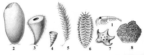 Характерные животные Антарктической области: 1 — антарктический криль; 2 — губка сколимастра; 3 — губка Росса; 4 — одиночный мадрепоровый коралл Flabellum antarcticum; 5 — горгонария туарелла; 6 — гигантский многощетинковый червь Eulagisca gigantea; 7 — морская звезда Odontaster; 8 — колониальный крыложаберник Cephalodiscus. Антарктическая область.