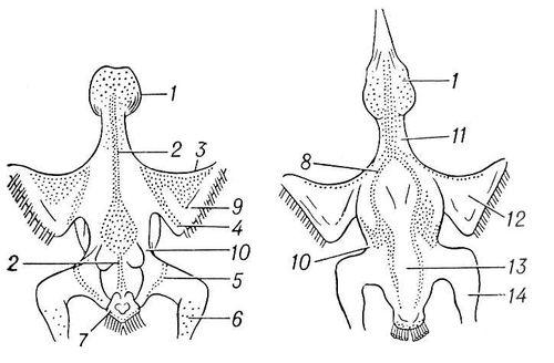 Расположение птерилий и аптерий у ореховки Nucifraga caryocatactes. Вид со спинной (слева) и брюшной сторон; птерилий: 1 — головная; 2 — спинная; 3 — крыловая; 4 — плечевая; 5 — бедренная; 6 — ножная; 7 — хвостовая; 8 — грудная; аптерии: 9 — верхняя крыловая; 10 — боковая; 11 — шейная; 12 — нижняя крыловая; 13 — брюшная; 14 — ножная. Аптерии.