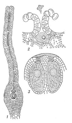 spermatozoid-u-mhi