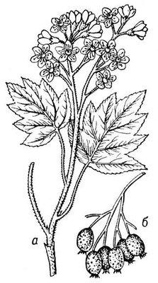 Берека: а — ветка с цветками и листьями; б — ветка с плодами. Берека.