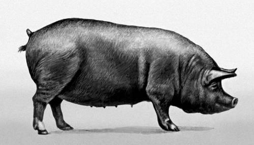 Свинья беркширской породы. Беркшир.