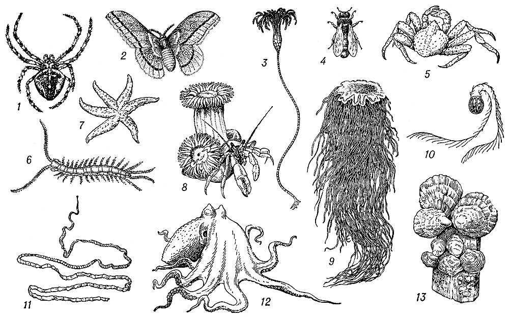 Беспозвоночные: 1 — паук-крестовик; 2 — китайский дубовый шелкопряд; 3 — морская лилия; 4 — пчела; 5 — камчатский краб; 6 — многоножка; 7 — морская звезда; 8 — актинии на раке-отшельнике; 9 — сцифомедуза; 10 — гребневик; 11 — ленточный червь; 12 — осьминог; 13 — устрицы. Беспозвоночные.