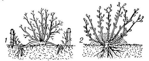 Рис. 2. Размножение кустарников отводками: 1 — горизонтальными; 2 — вертикальными. Вегетативное размножение.