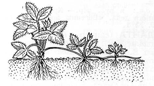 Рис. 1. Размножение земляники усами. Вегетативное размножение.