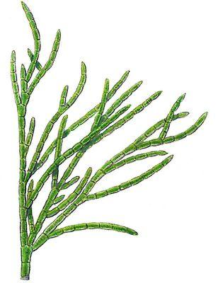 Зелёные водоросли. Кладофора (Cladophora). Водоросли.