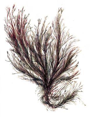 Красные водоросли. Полисифония (Polysiphonia). Водоросли.