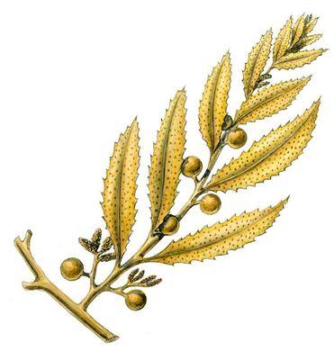 Бурые водоросли. Саргассум (Sargassum). Водоросли.