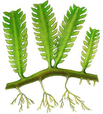 Зелёные водоросли. Каулерпа (Caulerpa). Водоросли.