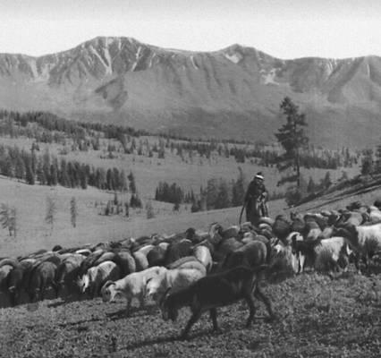 Стадо коз на горном пастбище. Восточно-Казахстанская область.