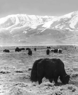 Восточный Памир. Яки на пастбище. Горно-Бадахшанская автономная область.