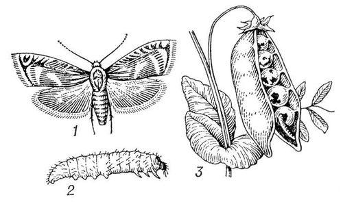 Гороховая плодожорка: 1 — бабочка; 2 — гусеница; 3 — повреждение гороха. Гороховые плодожорки.