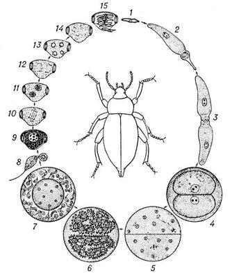 Рис. 2. Цикл развития грегарины Stylocephalus longicollis: 1 — спорозоит; 2 — гамонт; 3 — образование сизигия; 4 — циста с двумя гамонтами; 5, 6 — деление ядер гамонтов; 7 — сформированные гаметы; 8 — копуляция гамет; 9 — зигота; 10—14 — развитие спорозоптов в ооцисте: 15 — спорозоиты, выходящие из ооцисты (1—4 — в кишечнике жука медляка—вещателя; 5—15 — во внешней среде). Грегарины.
