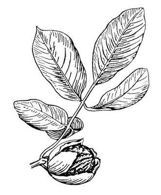 Грецкий орех: ветка с плодом. Грецкий орех.