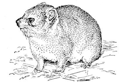 Даман Procavia capensis. Даманы.