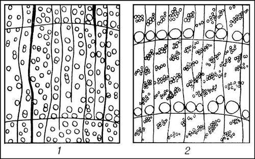 Рис. 3. Схема расположения сосудов древесины на поперечном сечении годичного кольца: 1 — клёна (рассеянно-сосудистая); 2 — вяза (кольцесосудистая). Древесина.