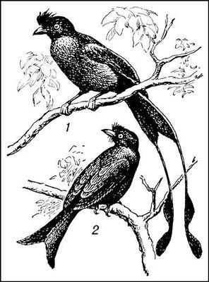Дронго: 1 — Dicrurus paradiseus; 2 — Dicrurus macrocercus. Дронго.