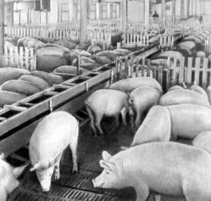 Свинарник-откормочник. Нижнеломовская откормочная база Пензинской области. Животноводство.