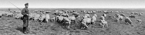 Овцы на пастбище. Племзавод «Червлёные Буруны» Дагестанской АССР. Животноводство.