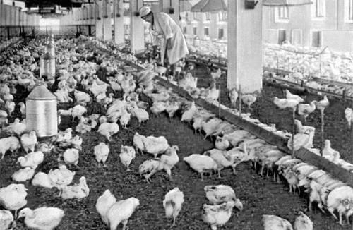 Птичник для бройлеров на 20 тыс. голов. Адлерская птицефабрика Краснодарского края. Животноводство.