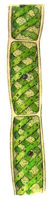 Зелёные водоросли. Спирогира (Spirogyra). Зелёные водоросли.