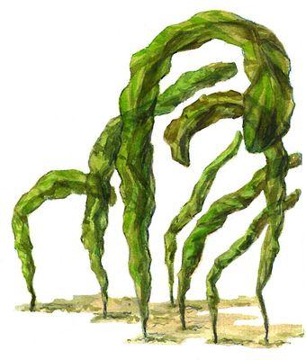 Зелёные водоросли. Энтероморфа (Entheromorpha). Зелёные водоросли.