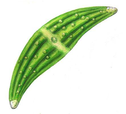 Зелёные водоросли. Клостериум (Closterium). Зелёные водоросли.