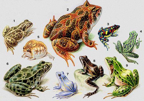 Земноводные. 1 — чесночница (Pelobates fuscus); 2 — рогатка (Ceratophrys cornuta); 3 — изменчивый ателоп (Atelopus varius); 4 — венесуэльский короткоголов (Atelopus cruciger); 5 — южноафриканский узкорот (Breviceps adspersus); 6 — американская лягушка (Rana pipiens); 7 — остромордая лягушка (Rana terrestris), самец в брачном наряде, 8 — он же в обычном наряде; 9 — зелёная лягушка (Rana esculenta). Земноводные.