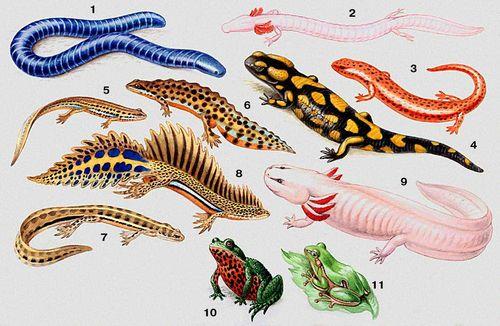 Земноводные. 1 — кольчатая червяга (Siphonops annulatus); 2 — протей (Proteus anguinus); 3 — красный ложный тритон (Pseudotriton ruber): 4 — огненная саламандра (Salamandra salamandra); 5 — обыкновенный тритон (Triturus vulgaris), самка, 6 — самец; 7 — малоазиатский тритон (Triturus vittatus), самка, 8 — самец; 9 — аксолотль — личинка амбистомы (Ambistoma tigrinum); 10 — дальневосточная жерлянка (Bombina orientalis); 11 — квакша (Hyla arborea). Земноводные.