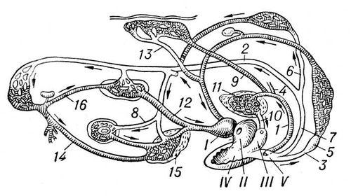 Рис. 1. Схема кровеносной системы лягушки: I — венозная пазуха; II — правое предсердие; III — левое предсердие; IV — желудочек; V — артериальный ствол; 1 — лёгочно-кожная артерия; 2 — дуга аорты; 3 — сонная артерия; 4 — язычная артерия; 5 — сонная железа; 6 — подключичная артерия; 7 — общая аорта; 8 — кишечная артерия; 9 — кожная артерия; 10 — лёгочная вена; 11 — лёгкое; 12 — задняя полая вена; 13 — кожная вена; 14 — брюшная вена; 15 — печень; 16 — почечная вена. Земноводные.