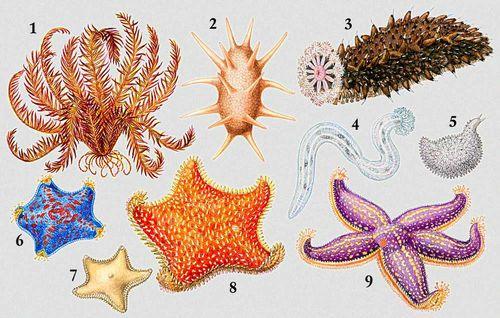 1 — морская лилия Pterometra pulcherrima; голотурии: 2 — Deima atlanticum, 3 — трепанг Stichopus japonicus, 4 — Chiridota pellucida, 5 — Ypsilothuria bitentaculata; морские звезды: 6 — Patiria pectinifera, 7 — Ctenodiscus crispatus, 8 — Hippasteria phrygiana, 9 — Asterias amurensis. Иглокожие.