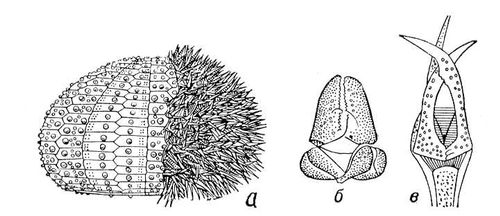 Рис. 3. а — морской ёж, наполовину очищенный от игл; б — педицеллярия морской звезды; в — педицеллярия морского ежа<span style='font-family: