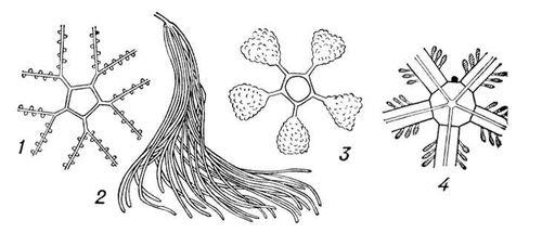 Рис. 5. Половая система иглокожих: 1 — морской лилии; 2 — голотурии; 3 — морского ежа; 4 — офиуры. Иглокожие.