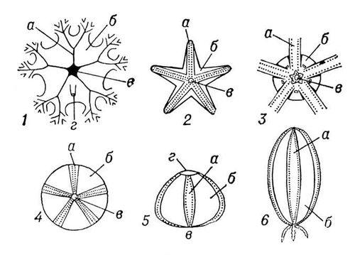 Рис. 2. Схемы наружного строения различных иглокожих: 1 — морской лилии; 2 — морской звезды; 3 — офиуры; 4—5 — морского ежа; 6 — голотурии; а — амбулакр, б — интерамбулакр, в — рот, г — заднепроходное отверстие. Иглокожие.
