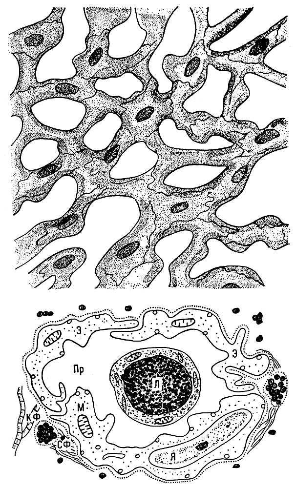 Рис. 2. Схема сети лимфатических капилляров в тканях (вверху) и поперечного среза лимфатического капилляра (внизу): Пр — просвет капилляра; Я — ядро эндотелиальной клетки; Э — цитоплазма эндотелиальной клетки; М — митохондрия; КФ — коллагеновые фибриллы; СФ — стропные филаменты; Л — лимфоцит. Капилляры.