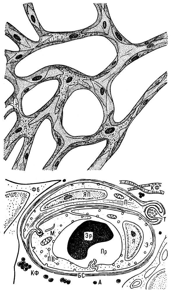 Рис. 1. Схема сети кровеносных капилляров в тканях (I) и поперечного среза кровеносного капилляра (II): Пр — просвет капилляра; Эр — эритроцит; Я — ядро эндотелиальной клетки; Э — цитоплазма эндотелиальной клетки; М — митохондрия; ПВ — микропиноцитозные везикулы; БС — базальный слой кровеносного капилляра; ЯП — ядро перицита; П — цитоплазма перицита; Т — терминаль двигательного нерва; А — адвентициальный слой; КФ — коллагеновые фибриллы; Фб — фибробласт. Капилляры.