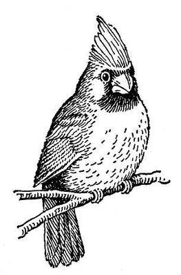 Рис. к ст. Кардинал. Кардинал (птица отр. воробьиных).