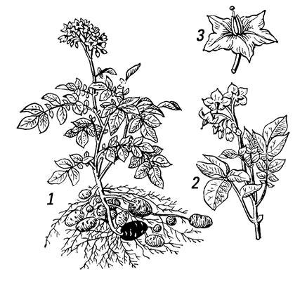 Картофель: 1 — цветущее растение со старым (тёмный) и молодыми клубнями; 2 — ветвь с цветками; 3 — цветок. Картофель.