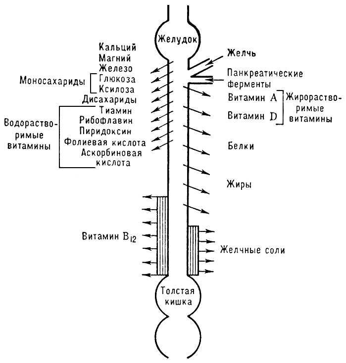 Рис. 3. Схема распределения пищеварительных и резорбтивных функций вдоль тонкой кишки. Кишечник.
