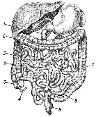 Рис. 1. Кишечник человека: 1 — двенадцатиперстная кишка; 2 — подвздошная кишка; 3 — слепая кишка; 4 — аппендикс; 5 — восходящая кишка; 6 — поперечно-ободочная кишка; 7 — нисходящая кишка; 8 — сигмовидная кишка; 9 — прямая кишка. Кишечник.