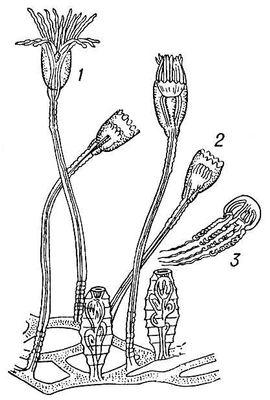 Рис. 3. Колония кишечнополостных: 1 — полип с расправленными щупальцами; 2 — полип со сжатыми щупальцами; 3 — медуза, отделившаяся от колонии. Кишечнополостные.