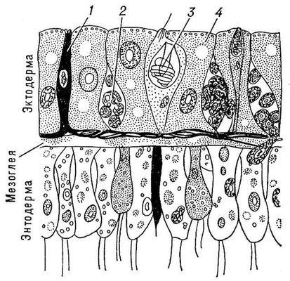 Рис. 2. Стенка тела гидры (продольный разрез): 1 — нервная клетка; 2 — интерстициальная клетка; 3 — стрекательная клетка; 4 — эпителиально-мускульная клетка. Кишечнополостные.