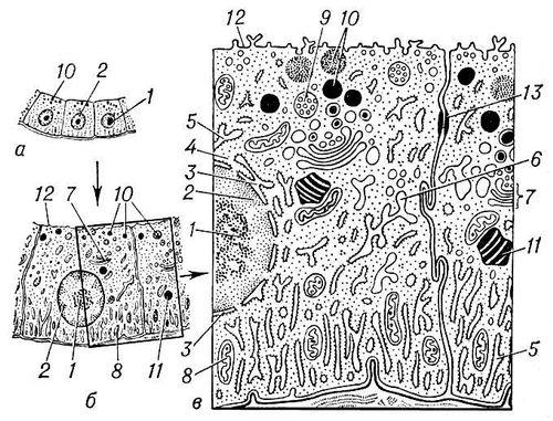 Рис. 1. Общий вид эпителиальной клетки животного при различном увеличении: а — в оптический микроскоп; б — при малом увеличении электронного микроскопа; в — при большом увеличении. Структуры ядра: 1 — ядрышко; 2 — хроматин (участки хромосом); 3 — ядерная оболочка. Структуры цитоплазмы: 4 — рибосомы; 5 — гранулярная (покрытая рибосомами) эндоплазматическая сеть; 6 — гладкоконтурная сеть; 7 — комплекс Гольджи; 8 — митохондрии; 9 — мультивезикулярные (многопузырьковые) тела; 10 — секреторные гранулы; 11 — жировые включения; 12 — плазматическая мембрана; 13 — десмосома. Клетка.