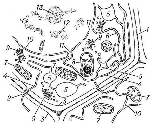 Рис. 2. Схема строения клетки образовательной ткани (меристемы) растения: 1 — клеточная стенка; 2 — плазмодесмы<span style='font-family:
