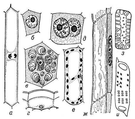 Рис. 3. Разнообразие клеток высших растений: а, б — меристематические клетки; в — крахмалоносная клетка из запасающей паренхимы; г — клетка эпидермиса; д — двуядерная клетка секреторного слоя пыльцевого гнезда; е — клетка ассимиляционной ткани листа с хлоропластами; ж — членик ситовидной трубки с клеткой-спутницей; з — каменистая клетка; и — членик сосуда. Клетка.