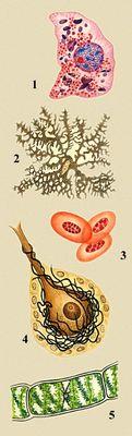 Разнообразие животных и растительных клеток: 1 — клетка печени аксолотля, в цитоплазме — красные митохондрии и фиолетовые белковые включения, в ядре — красное ядрышко и синие глыбки хроматина; 2 — хроматофор аксолотля, заполненный гранулами пигмента; 3 — эритроциты лягушки; 4 — клетка Пуркине мозжечка крысы; 5 — клетка водоросли спирогиры. Клетка.