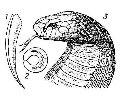 Рис. 1. Кобра (Naja naja): 1 — ядовитый зуб; 2 — его поперечный разрез (в середине виден ядоносный канал); 3 — голова кобры. Кобры.