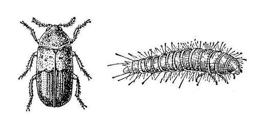 Ветчинный кожеед: 1 — жук; 2 — личинка. Кожееды.