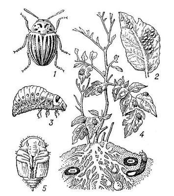 Колорадский картофельный жук: 1 — жук; 2 — кладка яиц; 3 — личинка; 4 — личинки и жуки, объедающие листья картофеля; 5 — куколка. Колорадский картофельный жук.